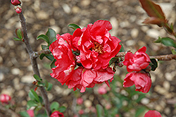 Double Take Pink™ Flowering Quince (Chaenomeles speciosa 'Double Take Pink Storm') at Skillins Greenhouse