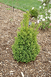 Green Mountain Boxwood (Buxus 'Green Mountain') at Skillins Greenhouse