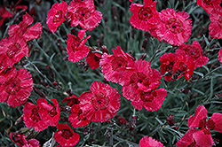 Eastern Star Pinks (Dianthus 'Red Dwarf') at Skillins Greenhouse