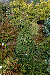 Farnsburg Norway Spruce (Picea abies 'Farnsburg') at Skillins Greenhouse