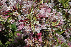 Rainbow Sensation® Weigela (Weigela florida 'Kolmagira') at Skillins Greenhouse