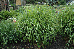 Porcupine Grass (Miscanthus sinensis 'Strictus') at Skillins Greenhouse
