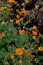 Totally Tangerine Avens (Geum 'Tim's Tangerine') at Skillins Greenhouse