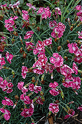 Fire And Ice Pinks (Dianthus 'Fire And Ice') at Skillins Greenhouse