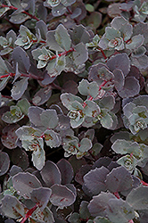 Sunset Cloud Stonecrop (Sedum 'Sunset Cloud') at Skillins Greenhouse