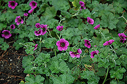 Perfect Storm Cranesbill (Geranium 'Perfect Storm') at Skillins Greenhouse