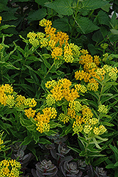 Hello Yellow Milkweed (Asclepias tuberosa 'Hello Yellow') at Skillins Greenhouse