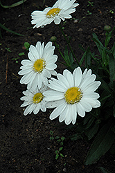 Highland White Dream Shasta Daisy (Leucanthemum x superbum 'Highland White Dream') at Skillins Greenhouse