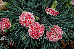 Coral Reef Pinks (Dianthus 'WP07OLDRICE') at Skillins Greenhouse