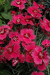 Ruby Sparkles Pinks (Dianthus 'Ruby Sparkles') at Skillins Greenhouse