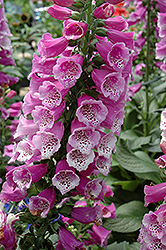 Dalmatian Purple Foxglove (Digitalis purpurea 'Dalmatian Purple') at Skillins Greenhouse