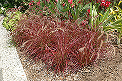 Fireworks Fountain Grass (Pennisetum setaceum 'Fireworks') at Skillins Greenhouse