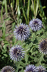 Blue Glow Globe Thistle (Echinops bannaticus 'Blue Glow') at Skillins Greenhouse