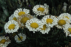 Real Neat Shasta Daisy (Leucanthemum x superbum 'Real Neat') at Skillins Greenhouse