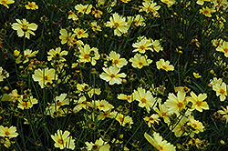 Full Moon Tickseed (Coreopsis 'Full Moon') at Skillins Greenhouse