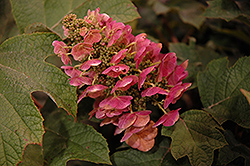 Ruby Slippers Hydrangea (Hydrangea quercifolia 'Ruby Slippers') at Skillins Greenhouse