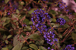 Lo And Behold® Blue Chip Junior Dwarf Butterfly Bush (Buddleia 'Lo And Behold Blue Chip Junior') at Skillins Greenhouse