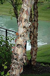 River Birch (Betula nigra) at Skillins Greenhouse