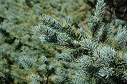 White Spruce (Picea glauca) at Skillins Greenhouse