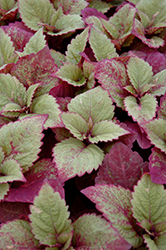ColorBlaze® Royal Glissade® Coleus (Solenostemon scutellarioides 'Royal Glissade') at Skillins Greenhouse
