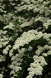 Snowmound Spirea (Spiraea nipponica 'Snowmound') at Skillins Greenhouse