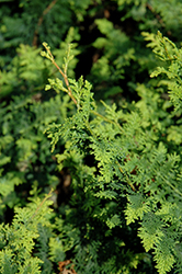 Fernspray Hinoki Falsecypress (Chamaecyparis obtusa 'Filicoides') at Skillins Greenhouse
