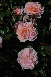 Apricot Drift® Rose (Rosa 'Meimirrote') at Skillins Greenhouse