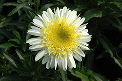 Real Dream Shasta Daisy (Leucanthemum x superbum 'Real Dream') at Skillins Greenhouse