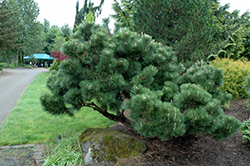 Thunderhead Japanese Black Pine (Pinus thunbergii 'Thunderhead') at Skillins Greenhouse