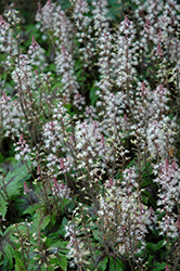Sugar And Spice Foamflower (Tiarella 'Sugar And Spice') at Skillins Greenhouse