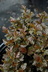 Tiny Wine® Ninebark (Physocarpus opulifolius 'SMPOTW') at Skillins Greenhouse