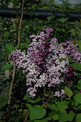 Declaration Lilac (Syringa 'Declaration') at Skillins Greenhouse