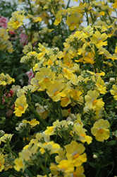 Sunsatia Lemon Nemesia (Nemesia 'Sunsatia Lemon') at Skillins Greenhouse