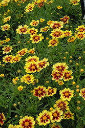 Enchanted Eve Tickseed (Coreopsis 'Enchanted Eve') at Skillins Greenhouse
