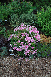 Pixie Twinkle Garden Phlox (Phlox paniculata 'Pixie Twinkle') at Skillins Greenhouse