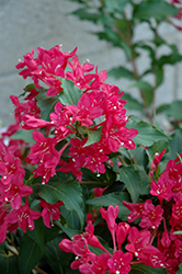 Sonic Bloom Red® Reblooming Weigela (Weigela florida 'Verweig 6') at Skillins Greenhouse