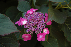 Tuff Stuff™ Hydrangea (Hydrangea serrata 'MAK20') at Skillins Greenhouse