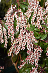 Dorothy Wyckoff Japanese Pieris (Pieris japonica 'Dorothy Wyckoff') at Skillins Greenhouse