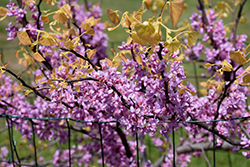 The Rising Sun Redbud (Cercis canadensis 'The Rising Sun') at Skillins Greenhouse