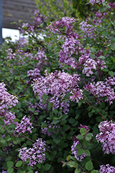 Bloomerang® Lilac (Syringa 'Bloomerang') at Skillins Greenhouse