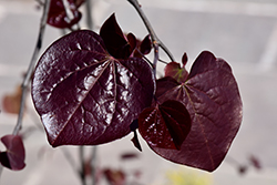 Ruby Falls Redbud (Cercis canadensis 'Ruby Falls') at Skillins Greenhouse
