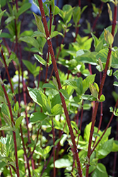 Bailey Red-Twig Dogwood (Cornus baileyi) at Skillins Greenhouse