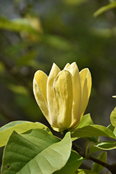 Yellow Bird Magnolia (Magnolia 'Yellow Bird') at Skillins Greenhouse