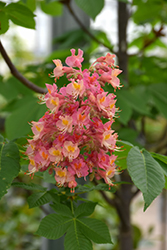 Fort McNair Red Horse Chestnut (Aesculus x carnea 'Fort McNair') at Skillins Greenhouse