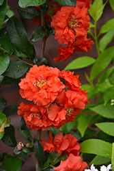 Double Take Orange™ Flowering Quince (Chaenomeles speciosa 'Double Take Orange Storm') at Skillins Greenhouse