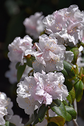 Molly Fordham Rhododendron (Rhododendron 'Molly Fordham') at Skillins Greenhouse