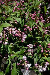 Yuki Cherry Blossom® Deutzia (Deutzia 'NCDX2') at Skillins Greenhouse