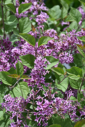 Bloomerang® Dark Purple Lilac (Syringa 'SMSJBP7') at Skillins Greenhouse