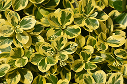 Gold Splash® Wintercreeper (Euonymus fortunei 'Roemertwo') at Skillins Greenhouse
