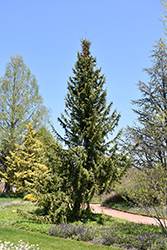 Serbian Spruce (Picea omorika) at Skillins Greenhouse